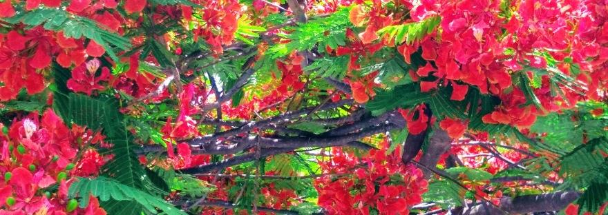 Tree flowers, Lake Chapala, Mexico